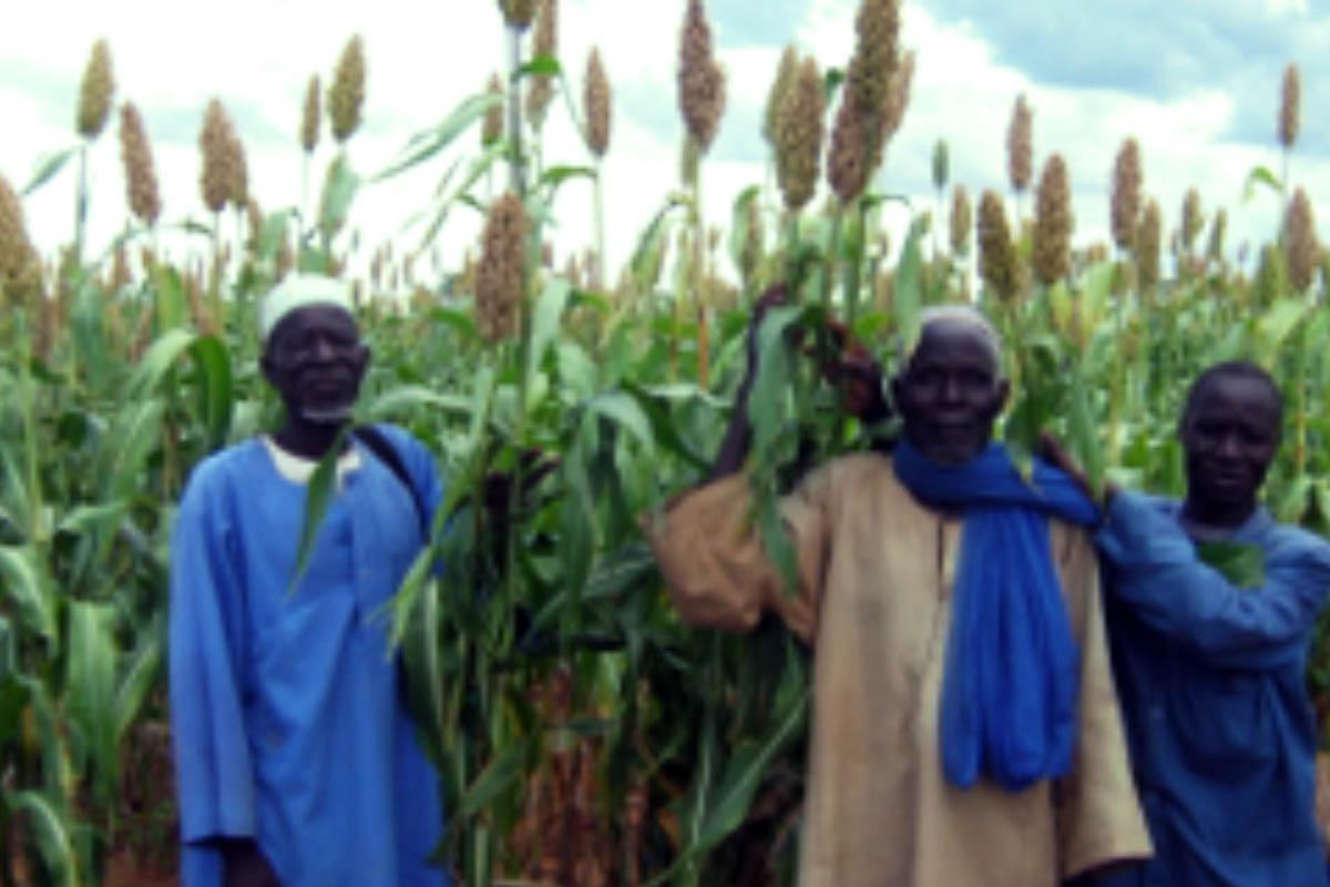 L'AMSP conduit une expérience de production locales de semences production locale de semences orientée vers une distribution locale et donc au profit des agriculteurs dans les villages